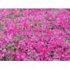 马鞭草基地——品种好的花海系列推荐