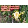 红心火龙果的种植与管理
